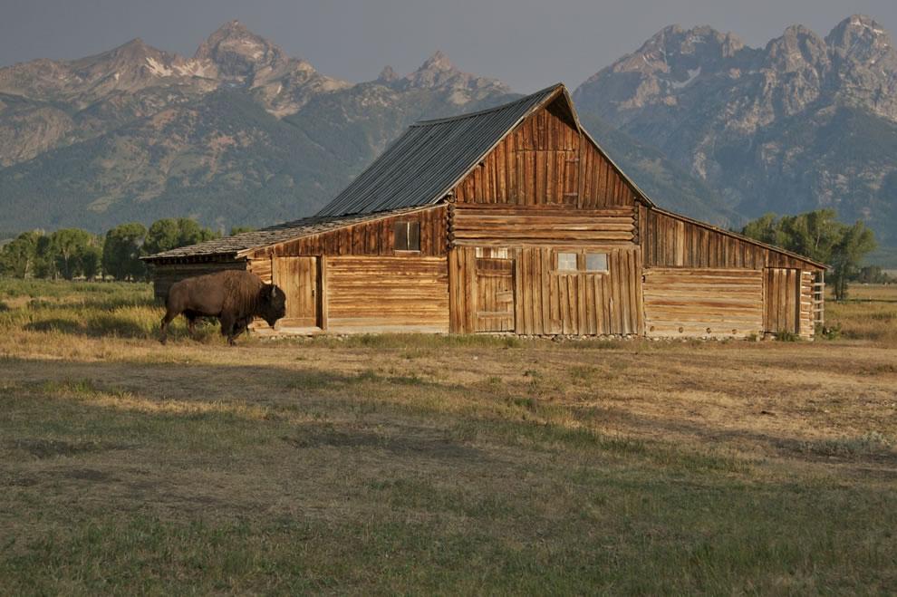 Bison at Mormon Row barn