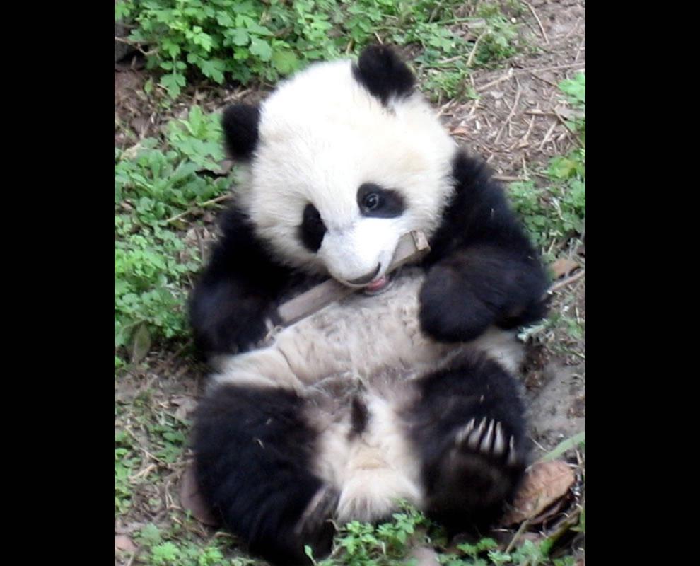 Closeup of playful panda at the Chengdu Research Base of Giant Panda Breeding