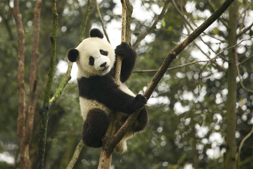 Cute juvenile giant panda at Sichuan Giant Panda Sanctuary