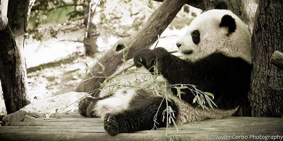 Due to farming, deforestation and other development, the giant panda has been driven out of the lowland areas where it once lived