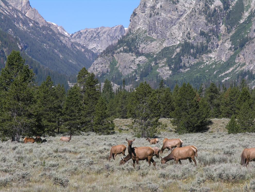 Elk grazing at Grand Teton NP