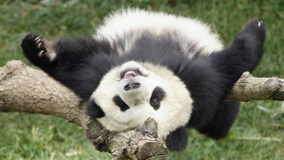 Giant Panda -- World Heritage Nature Perserve, Chinese Sanctuaries