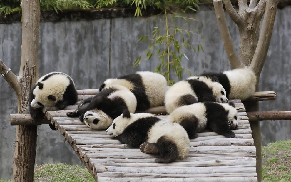 Giant Panda cubs at Wolong China