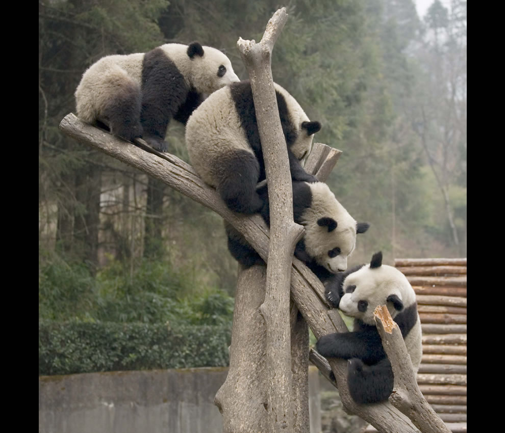 Giant Pandas climbing a tree at Wolong, China
