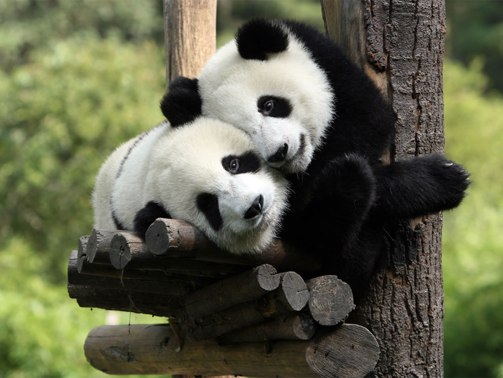 Giant Pandas cuddling at Wolong National Nature Reserve