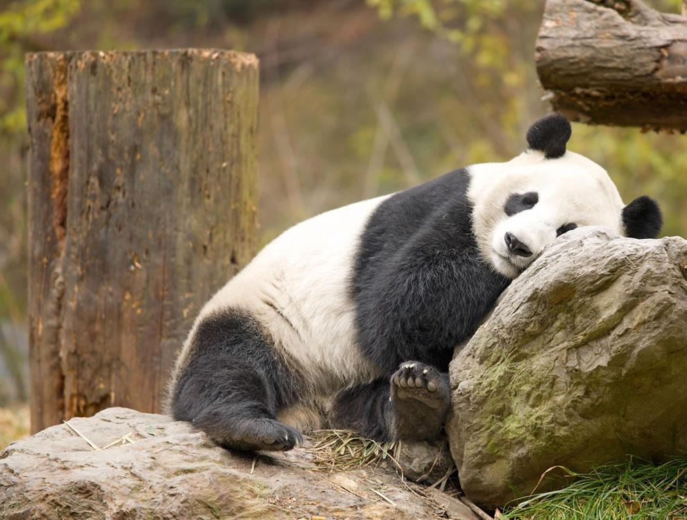 Giant Panda intent upon sleeping at Wolong, Sichuan, China