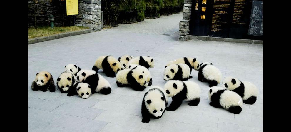 Giant panda cubs at Sichuan Giant Panda Sanctuaries