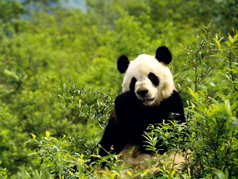 Giant panda little snack