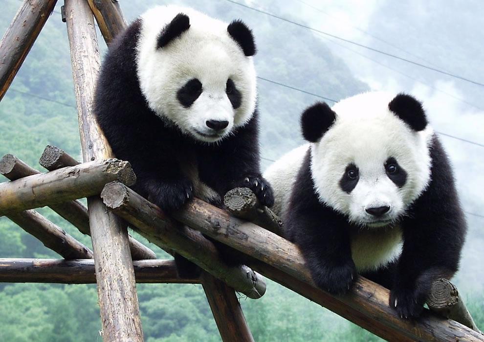 Giant pandas at Wolong