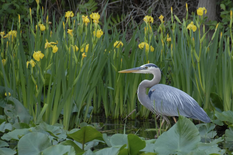 Heron among iris at Beaver Marsh, CVNP