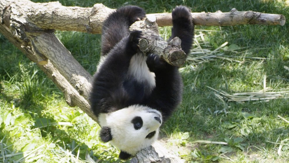 Juvenile giant panda just hanging around at Wolong Nature Reserve in Sichuan, China