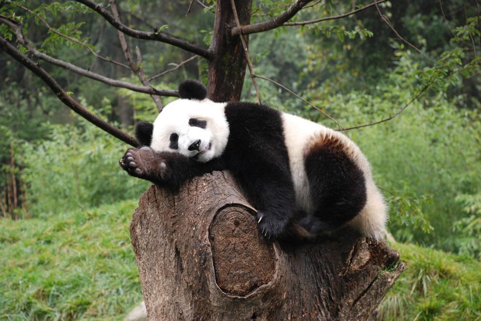 Natural posers, natural sleepers, giant panda at Wolong Nature Reserve, Sichuan China