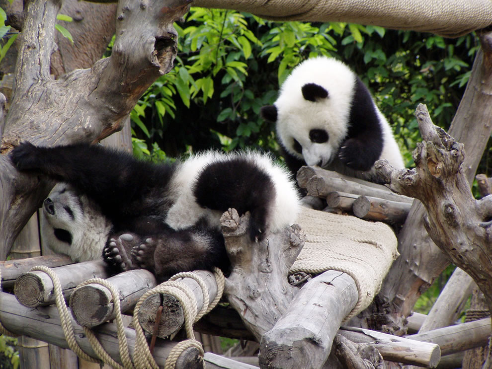 Playful teenage giant pandas at UNESCO World Heritage Site in China