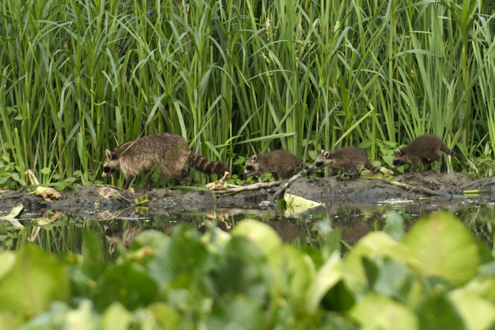 Racoon family at Beaver Marsh, CVNP
