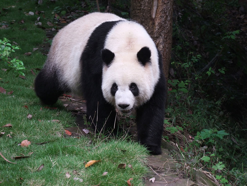 Sichuan Giant Panda Sanctuary