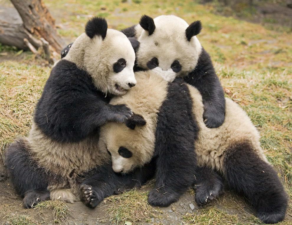 Trio of juvenile giant pandas at Wolong