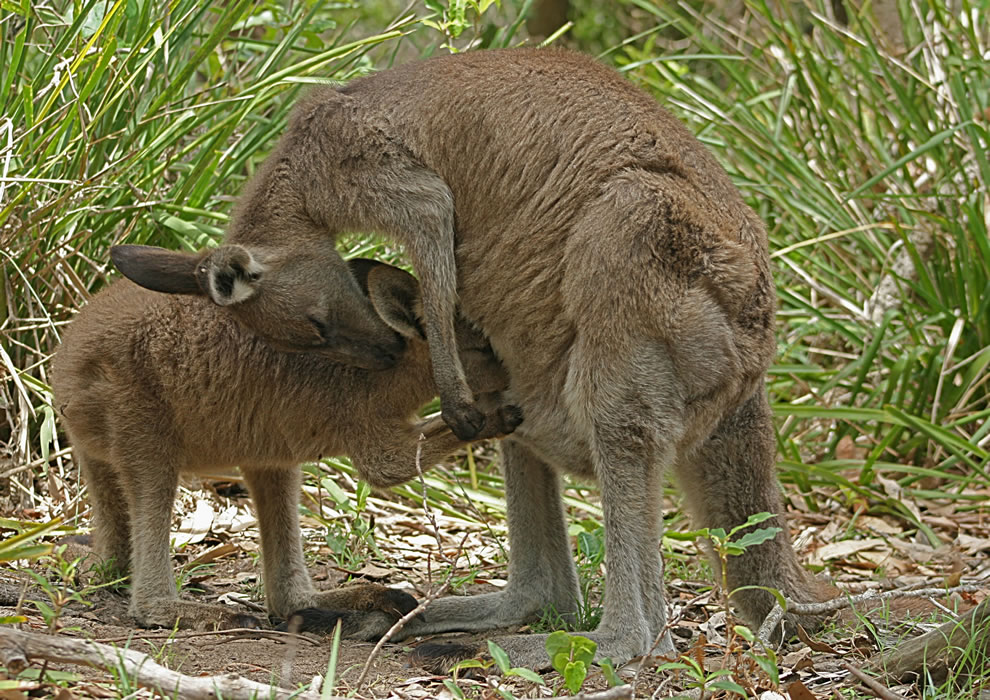 An Eastern Grey Kangaroo joey suckles from inside its mother's pouch as the mother shows her affection. This family was located in Murramarang National Park, Australia