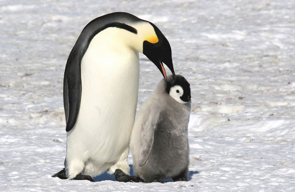 Emperor penguin telling her chick a secret