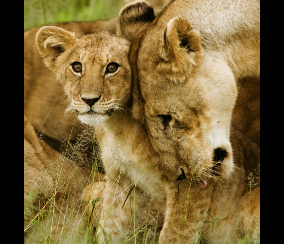 Lion Cub with Mother in the Serengeti, Tanzania