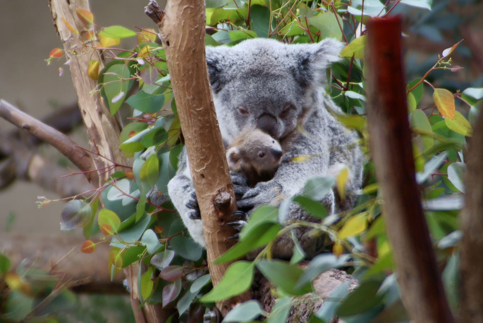 Momma and Baby Koala Bears