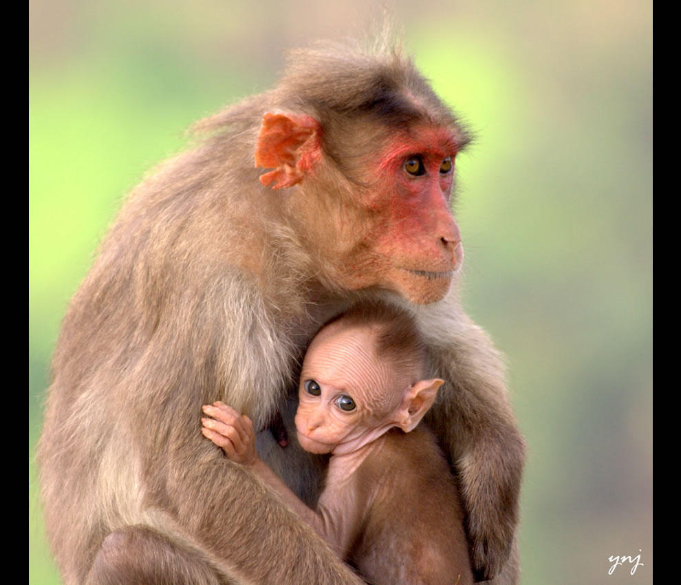 Monkey mother comforting her curious baby