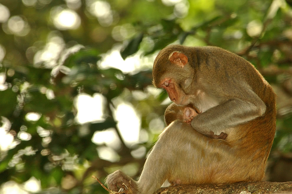 Monkey mother holding her napping child in Myanmar, Burma