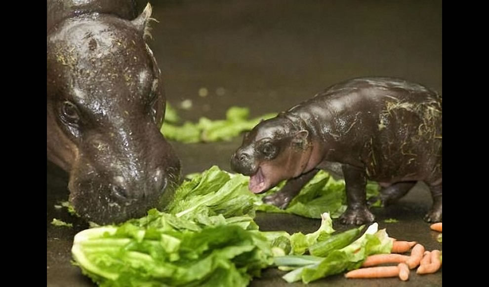 Mother Pygmy Hippopotamus teaching her baby the basics of hungry, hungry hippo