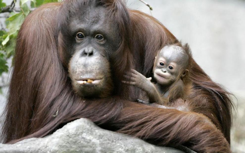 Mother orangutan cuddling her infant