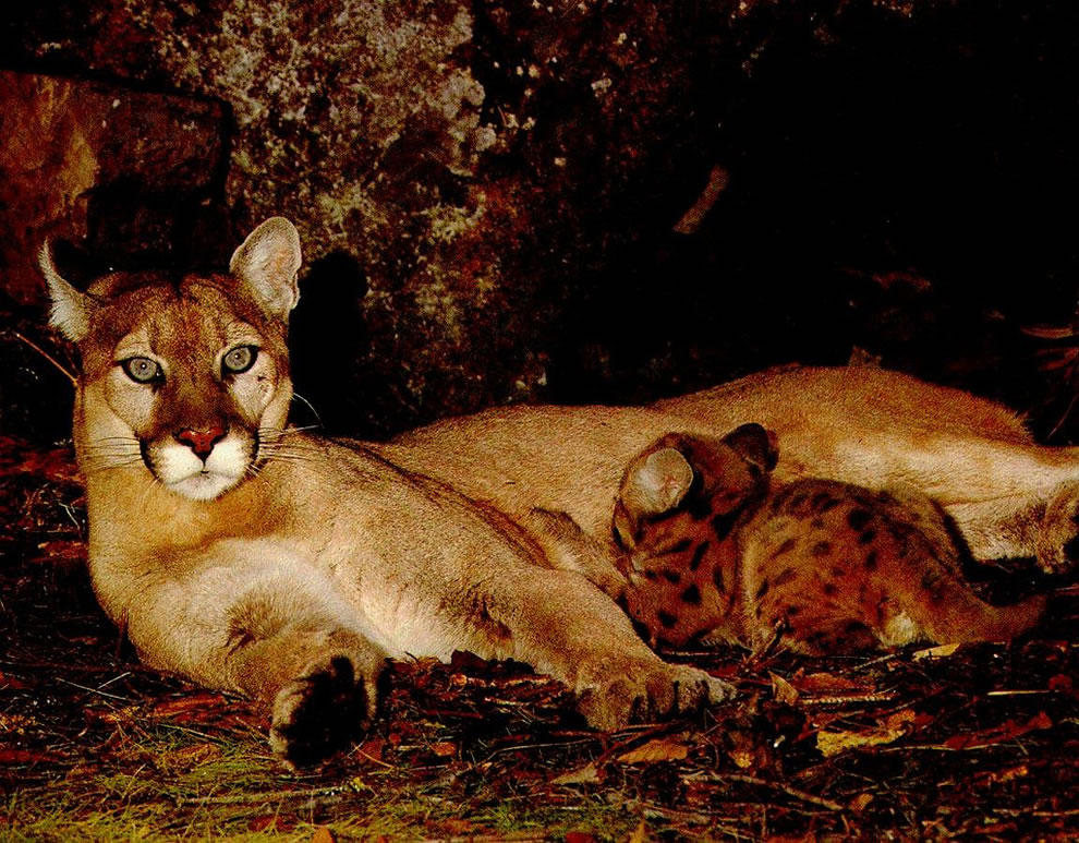 Puma and her nursing cub in the Atlantic Rainforest