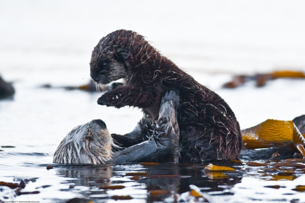 Sea Otter holding her baby as seen near Target Rock in the Morro Bay harbor, CA