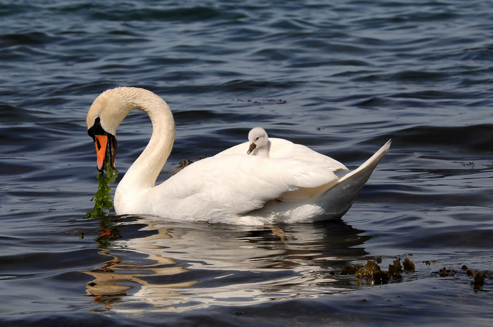 Swan with little baby swan (cygnet) on her back