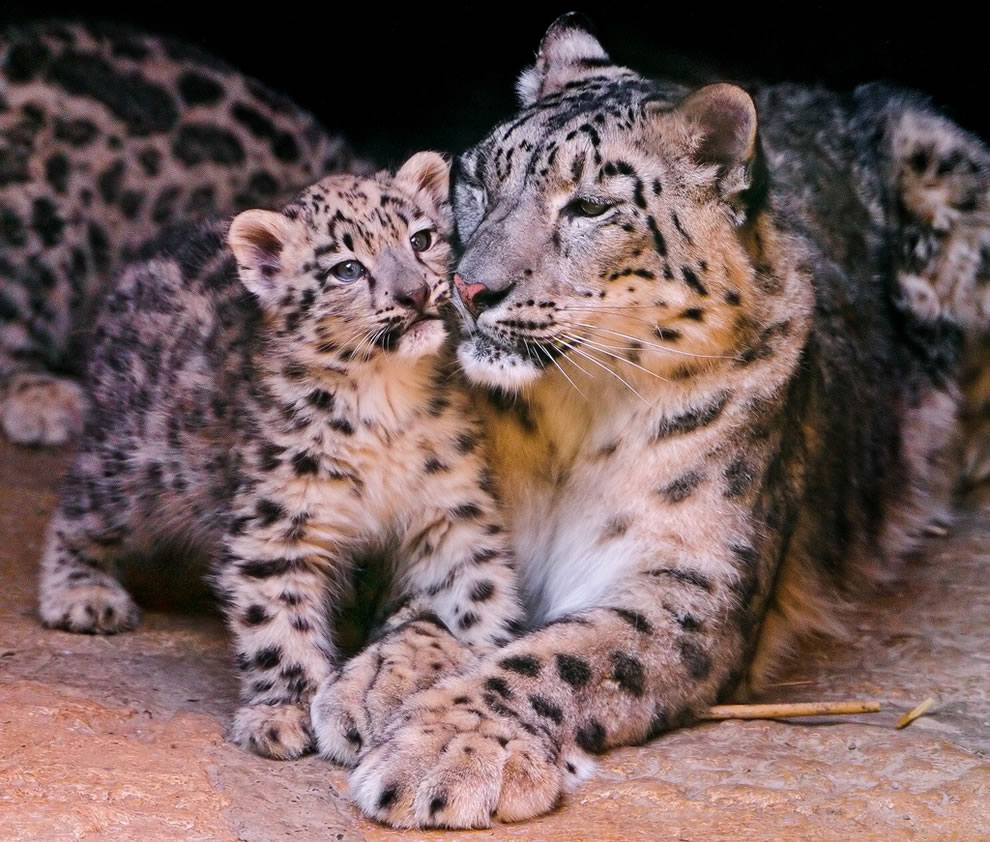 Tender moment between mother and cub snow leopards snuggling in their cave
