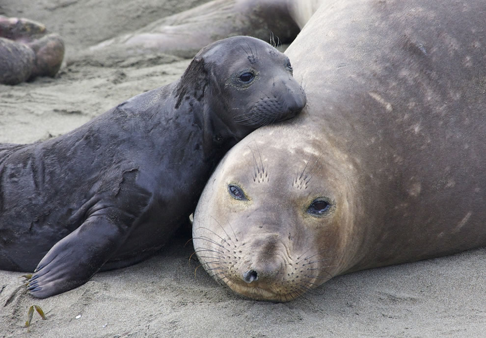 Tender moment between elephant seal cow and pup