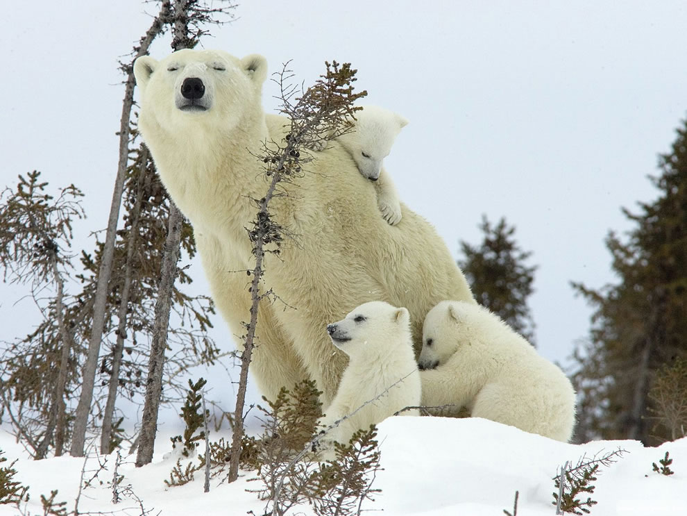 Whether you are an only child or a triplet polar bear cub, there's no one like mom
