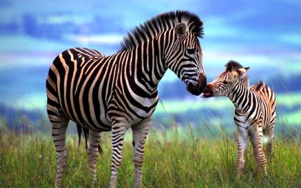 Zebra baby giving mom a kiss