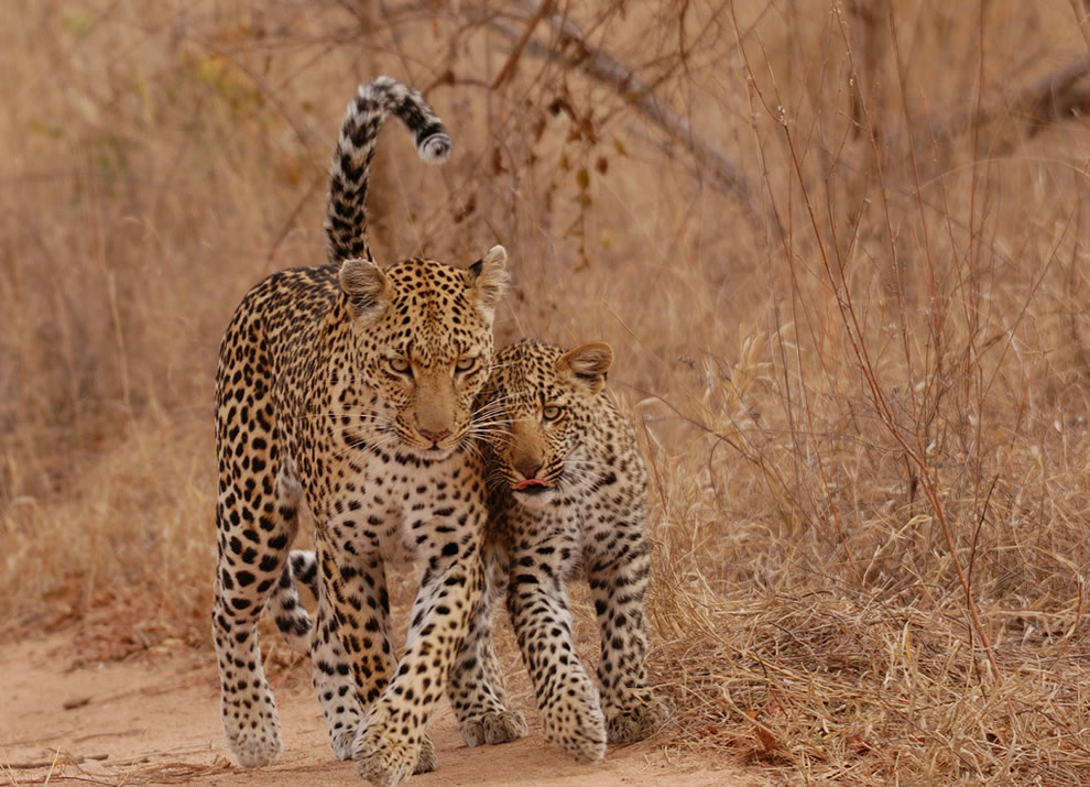 mother and cub leopards reunited in Africa