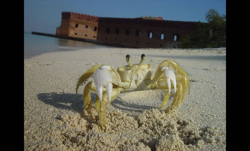 Ghost crab in front of Fort Jefferson, Dry Tortugas, Florida
