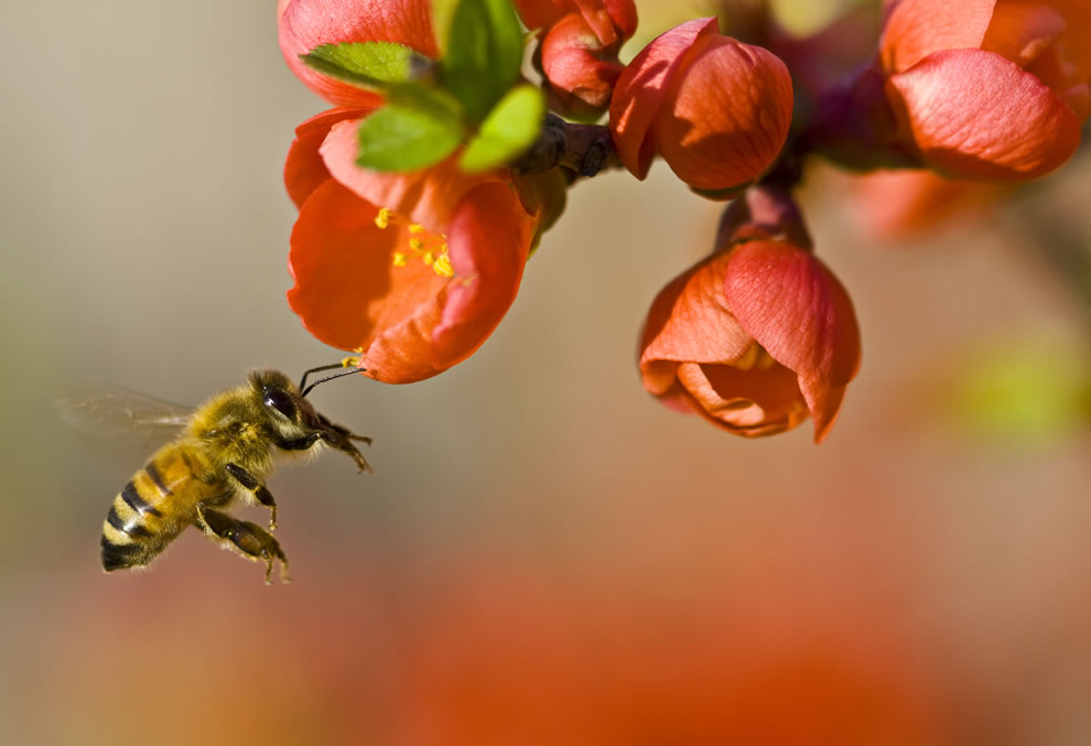 Wikimedia Commons Picture of the Year 2011 -- World Photography Day celebrate creative commons license -- Pollination by a bee