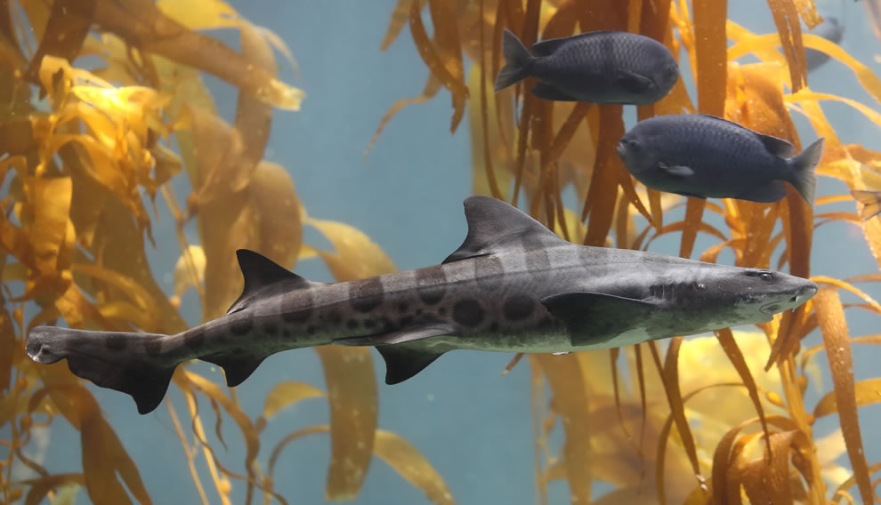 A Leopard shark swimming in a kelp forest in the 70,000 gallon kelp tank at Scripps Aquarium in La Jolla, California