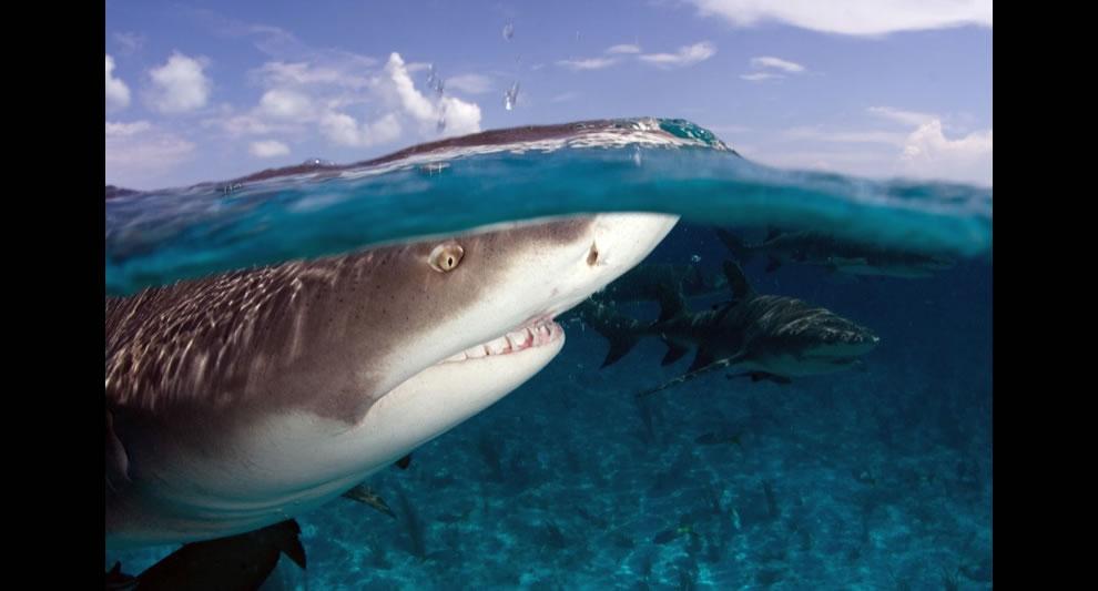Bahamas scuba diving with lemon sharks