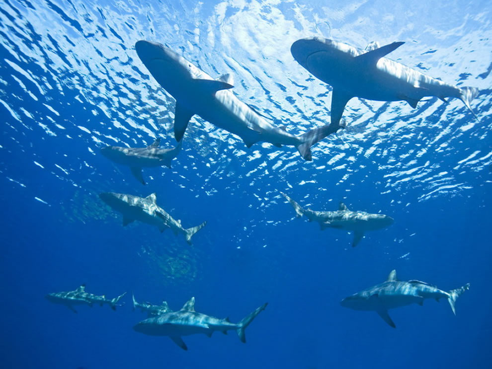 Dharavandhoo Thila - Hanifaru Bay Sharks