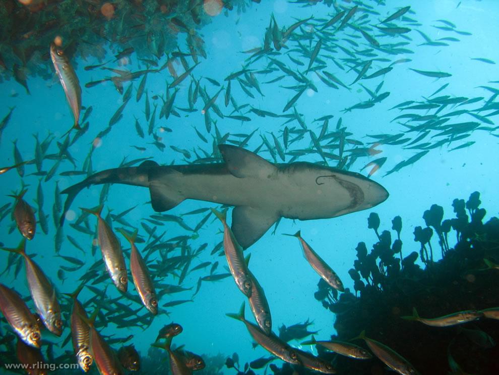 Grey Nurse Shark with fishhook swims above a shoal of Jack Mackerel