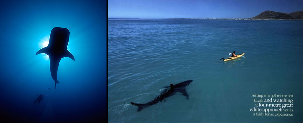 Man stalks whale shark, great white shark stalks man