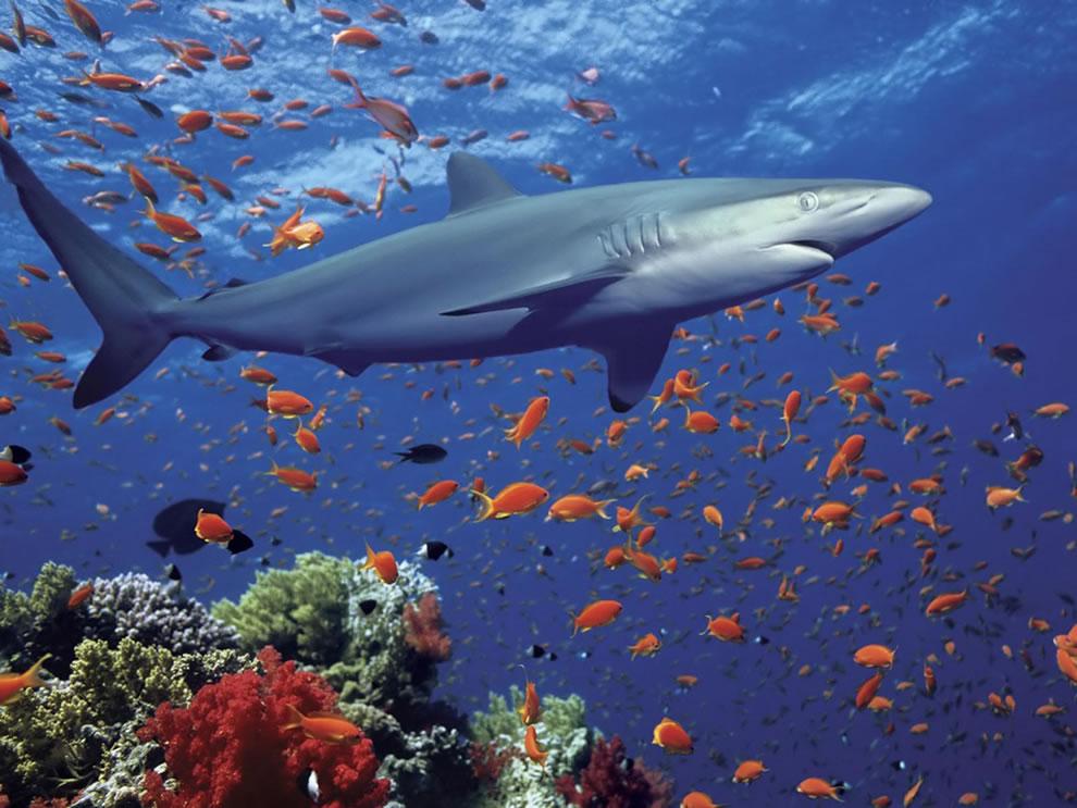 Shark, the predator