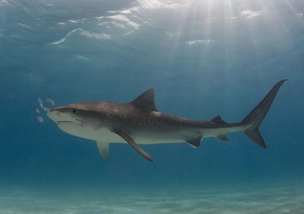 Tiger shark at Tiger Beach