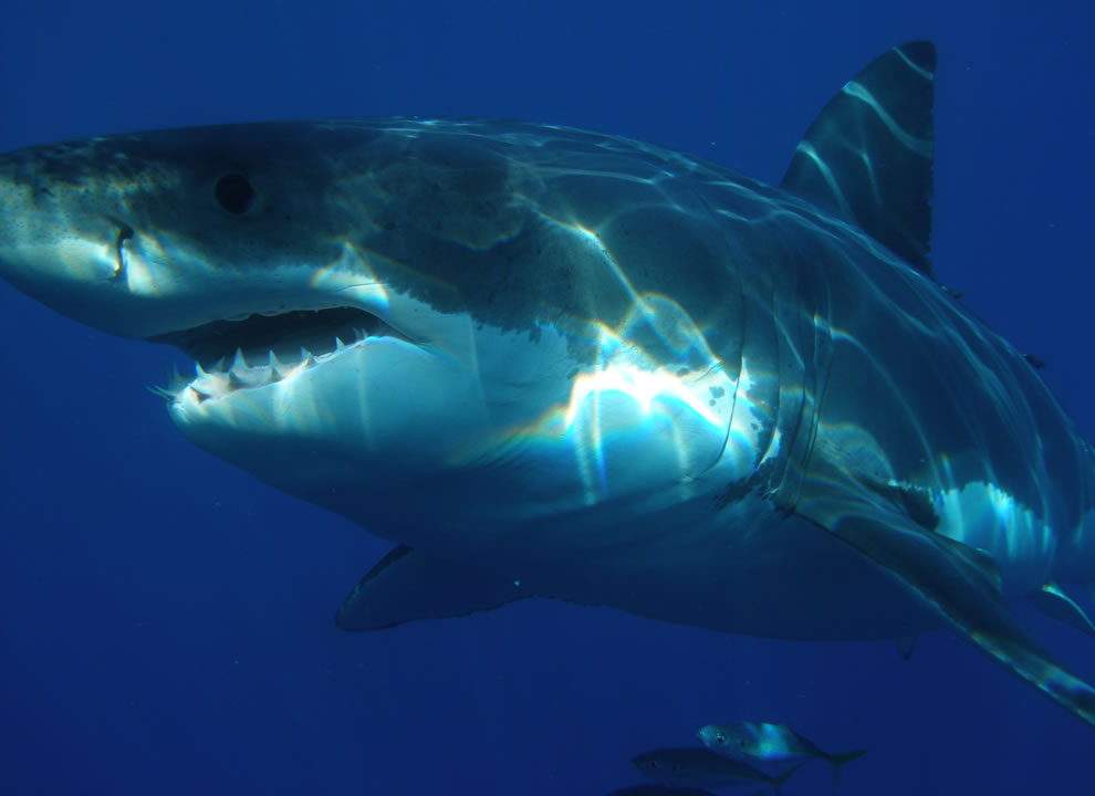 Upclose and personal with a great white shark in Isla Guadalupe, Mexico