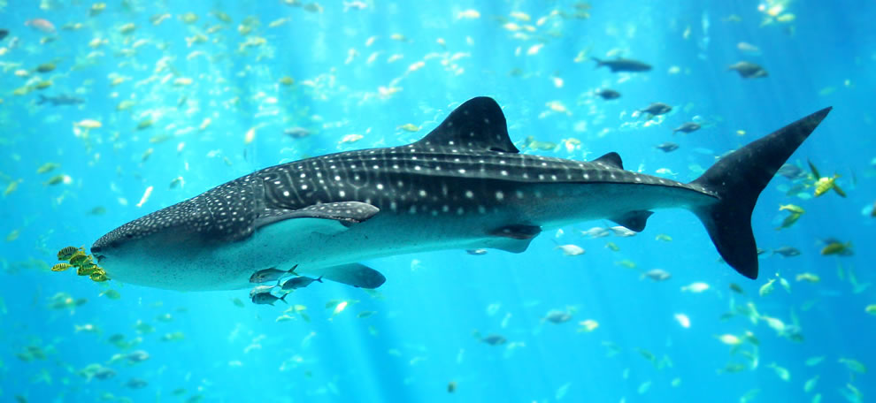 Whale shark at the Georgia Aquarium