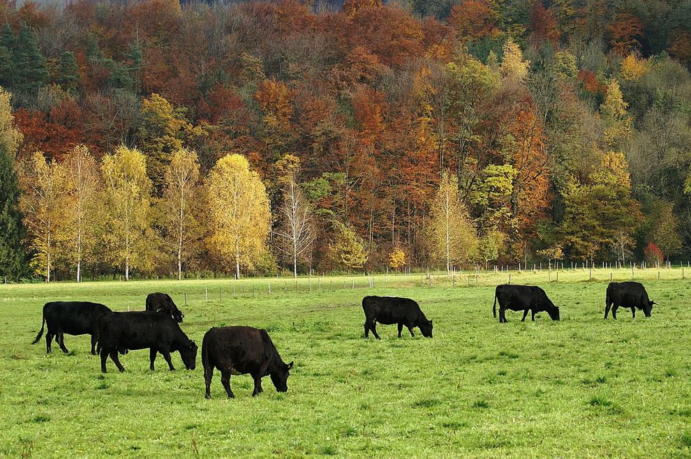 Aberdeen Angus cattle in Götzis, Vorarlberg during autumn