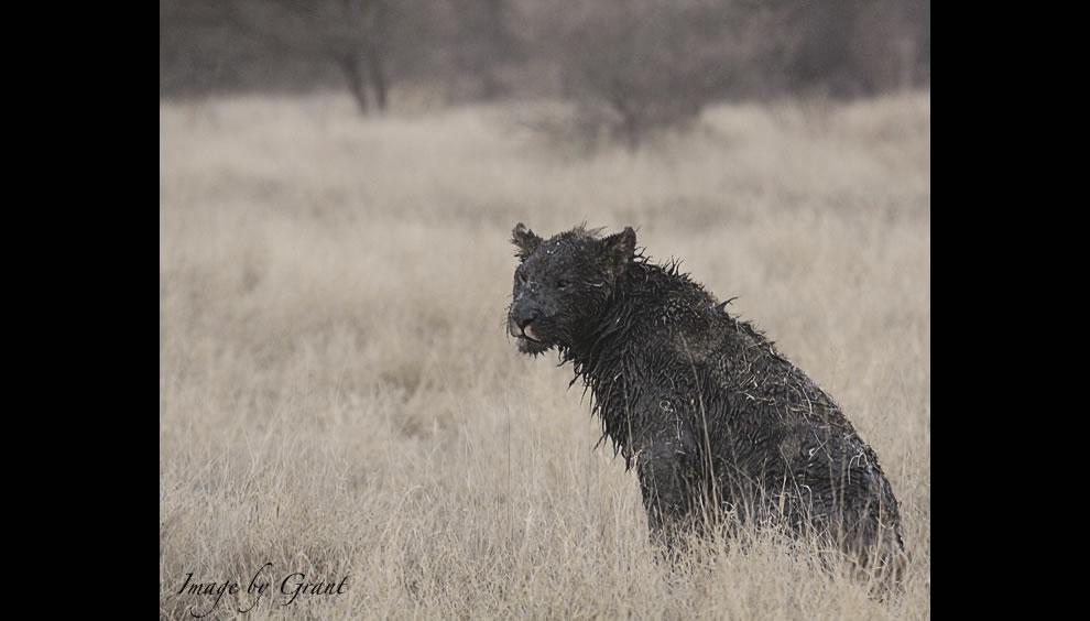 Amazing black lion in Africa black lioness black mud lion
