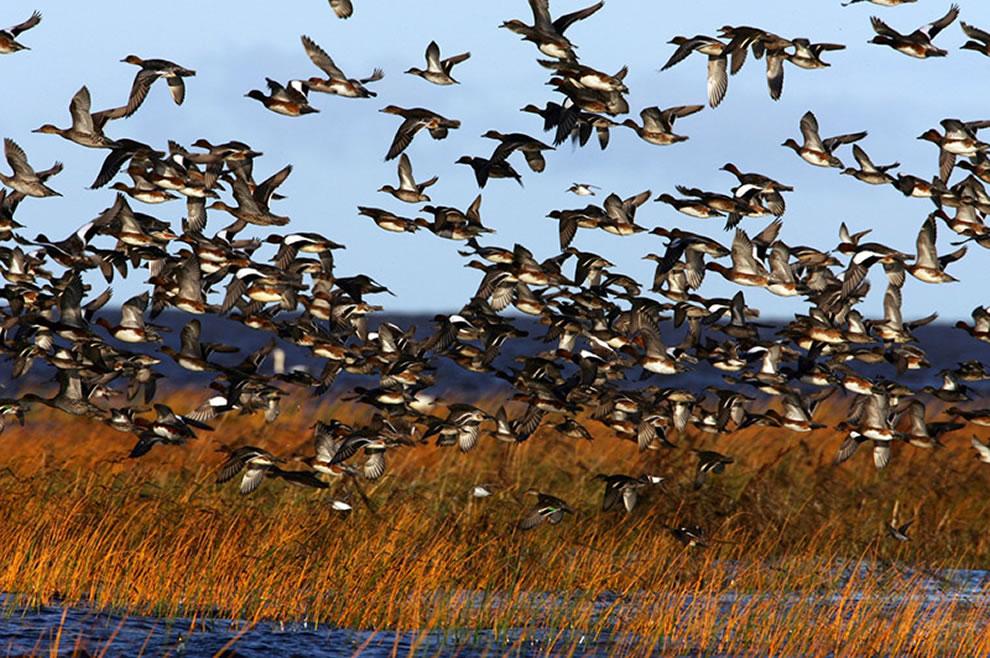 Autumn Bird Migration on Coasts of Pärnu, Estonia. Waterfowl flock in Luitemaa coastal wetland